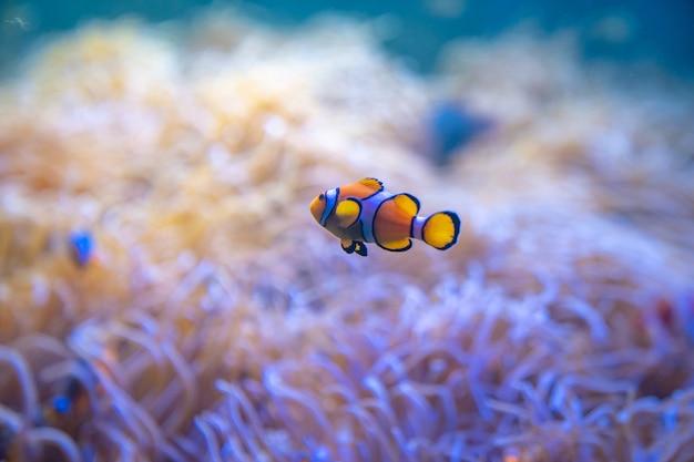 Peixe-palhaço ou peixe-anêmona nadam em torno de anêmonas-do-mar no mar.