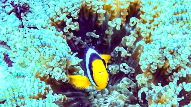 Peixe-palhaço preto sobre uma anêmona nas maldivas.