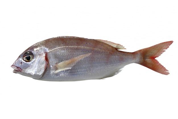 Peixe pandora comum pagellus erythrinus