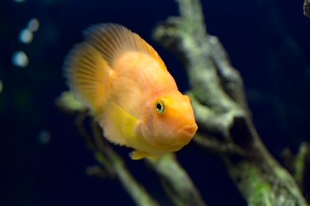 Peixe papagaio amarelo