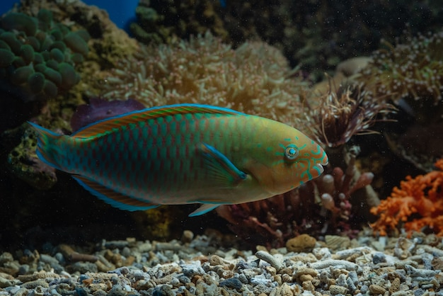 Peixe papagaio em recifes de coral