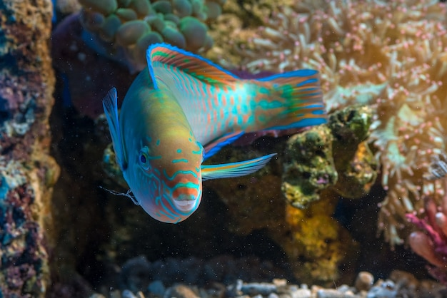 Peixe papagaio lindo com corpos coloridos