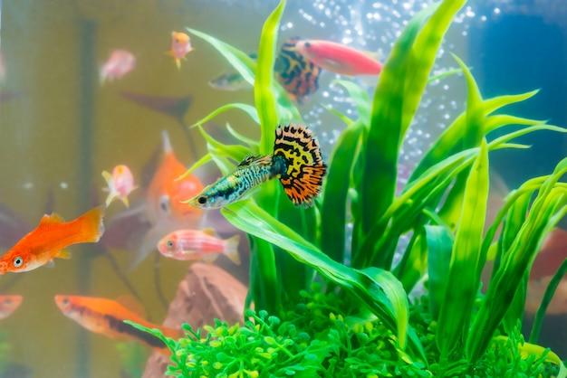 Peixe pequeno guppy e peixe vermelho no aquário ou aquário