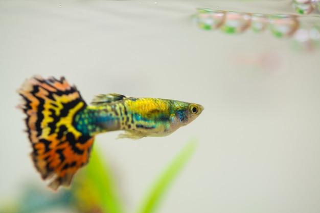 Peixe pequeno guppy em aquário ou aquário,