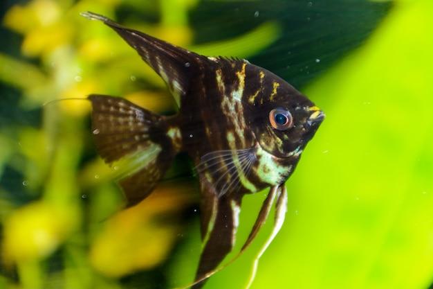Peixe pterophyllum scalare peixe-anjo, escalar do diabo vermelho. um lindo aquário de água doce peixe no fundo um lindo aquário tropical plantado verde.
