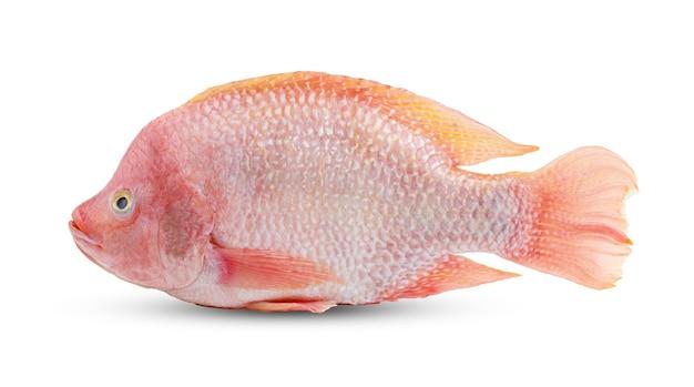 Peixe rubi isolado no fundo branco com traçado de recorte