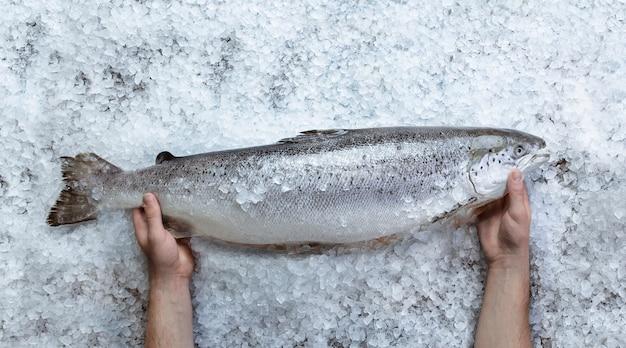 Peixe salmão cru fresco nas mãos no gelo sobre a vista superior da pedra cinza