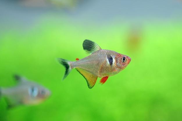 Peixe tetra