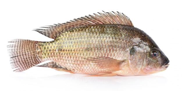 Peixe tilápia isolado no branco