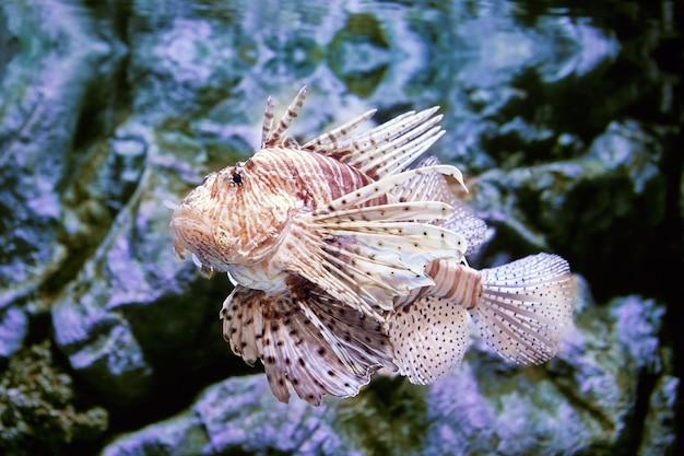 Peixe tóxico o peixe-leão só pode liberar veneno quando algo atinge seus espinhos