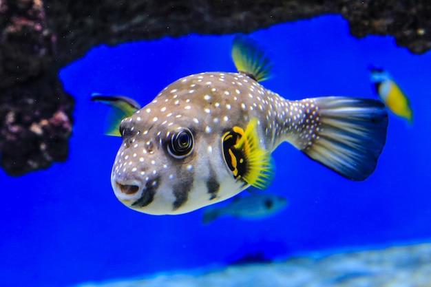 Peixe um baiacu nada na água azul sobre um fundo de corais peixe do mar vermelho