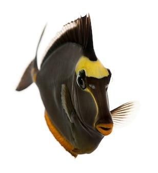 Peixe-unicórnio laranja, naso lituratus, branco isolado