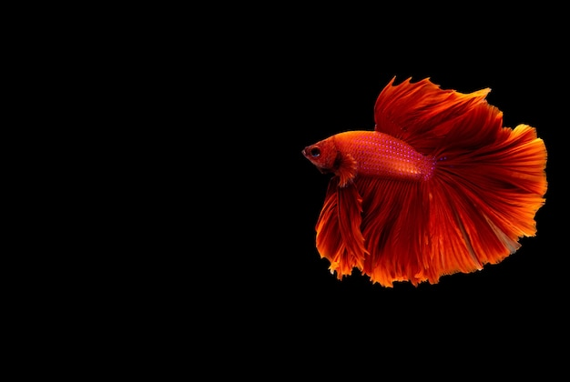 Peixes betta de meia-lua. peixes de combate siameses. peixes de combate de várias cores isolados.