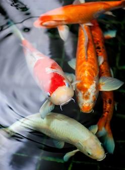Peixes coloridos de koi com ondinha da água no gourami do zen