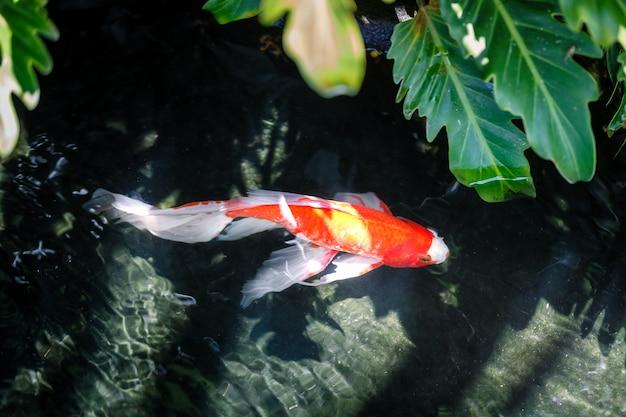 Peixes coloridos de koi na ondinha da água escura no gourami do zen