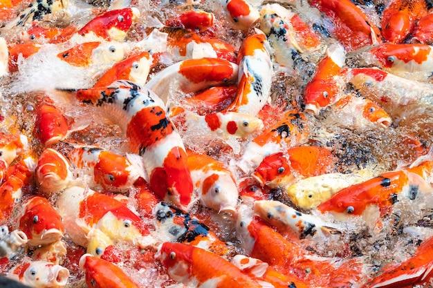 Peixes coloridos de koi no fundo da lagoa.
