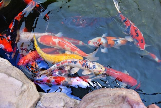 Peixes coloridos koi