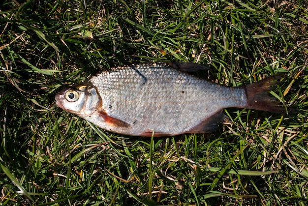 Peixes da brema em uma grama verde.