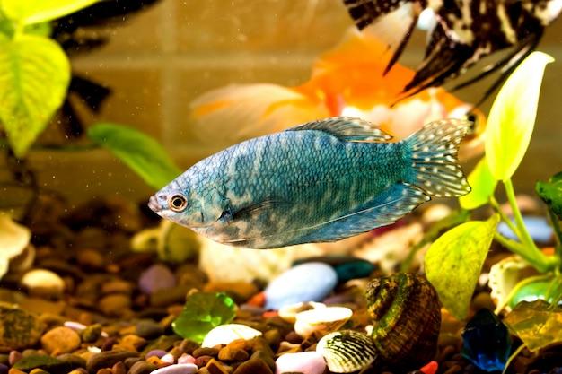 Peixes de aquário está nadando na água com plantas verdes atrás