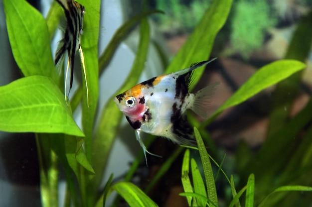 Peixes de aquário no aquário natural