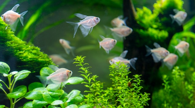 Peixes de aquário pequeno no aquário