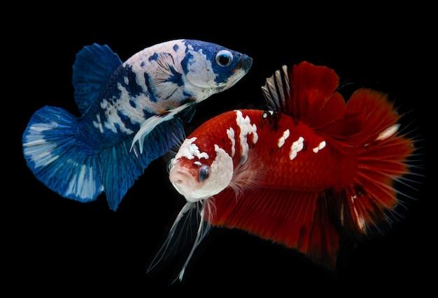 Peixes de betta de fantasia koi galáxia.