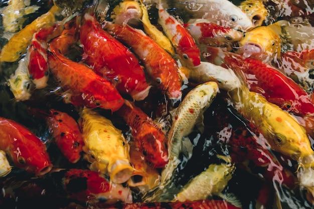 Peixes de carpa chique colorido