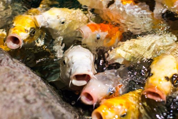 Peixes de carpa koi chique engraçado japonês pedindo comida