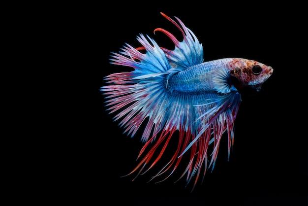 Peixes de combate, betta splendens, crowntail betta, peixe-lutador-siamês, captura de movimento de peixe