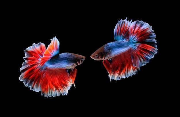 Peixes de combate isolados no preto
