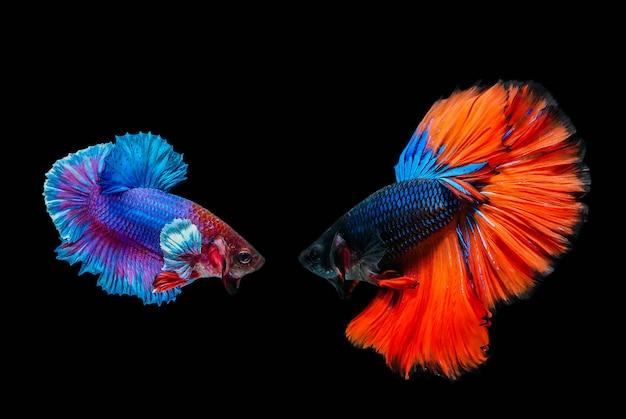 Peixes de combate, peixes de betta, peixes de combate siamese isolados no fundo preto.