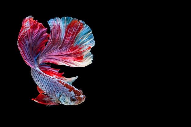 Peixes de combate siamese de betta, peixes populares tailandeses do aquário. bandeira azul branca vermelha de tailândia