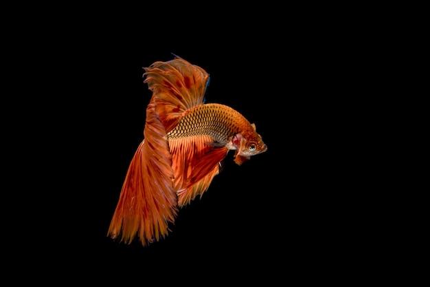 Peixes de meia lua betta. peixe de combate siamês. peixe de combate vermelho isolado