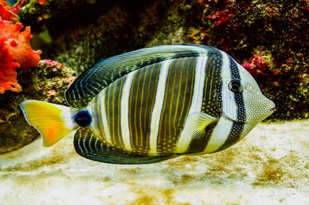 Peixes de recife de coral com belas cores vibrantes