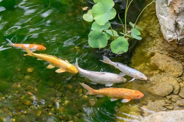 Peixes decorativos coloridos de carpas koi flutuam em um lago artificial, vista de cima