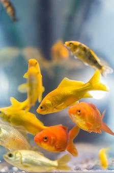 Peixes decorativos coloridos