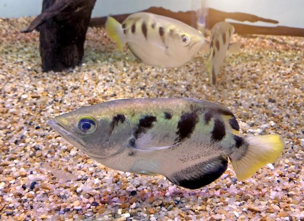 Peixes do arqueiro ou peixes do maçarico (toxotidae) no aquário.
