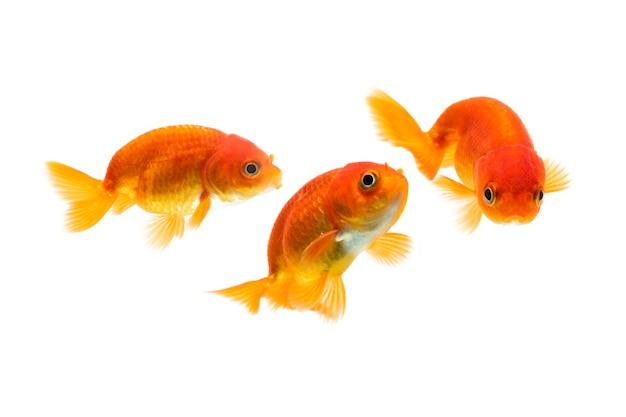 Peixes dourados nadando isolados no fundo branco