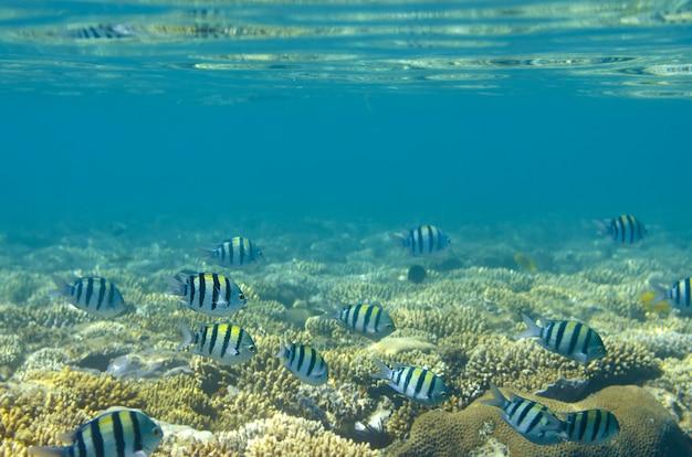Peixes e corais tropicais no mar vermelho, egito.