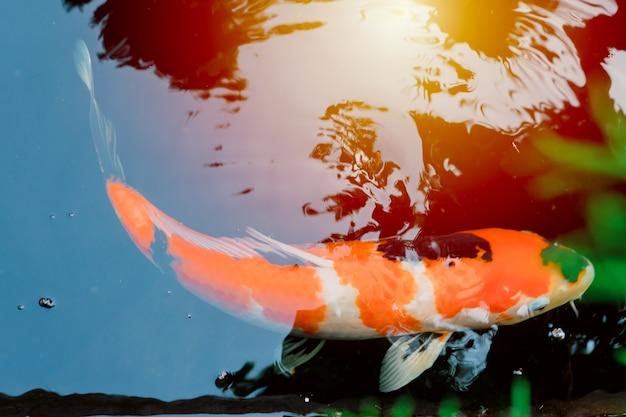Peixes japoneses da carpa de koi na lagoa do colortone