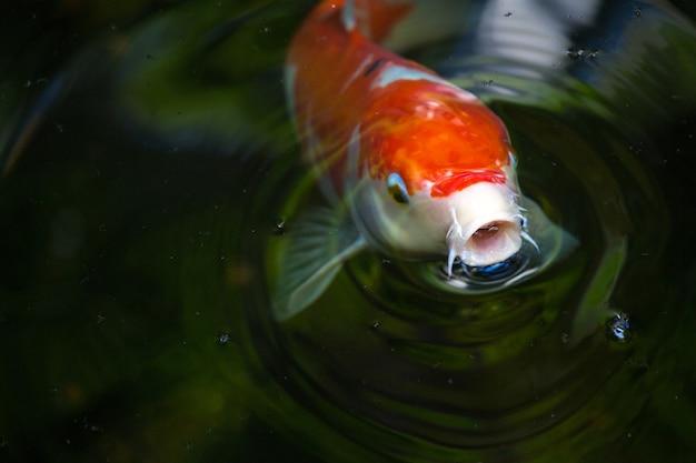 Peixes koi na água