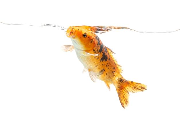 Peixes koi nadando debaixo d'água em fundo branco