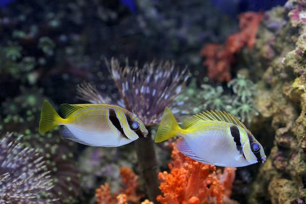 Peixes marinhos amarelos flutuando na água