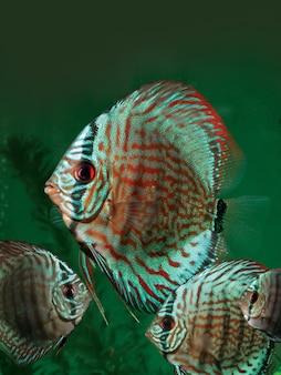 Peixes ornamentais em aquário tropical.