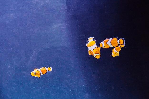 Peixes-palhaço coloridos