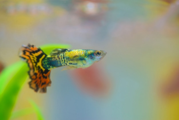 Peixes pequenos no aquário ou no aquário, peixes do ouro, guppy e peixes vermelhos, carpa extravagante com planta verde, vida subaquática.