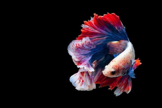 Peixes populares de combate do aquário dos peixes de combate de betta siamese. meia lua azul branca vermelha da bandeira de tailândia