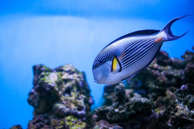 Peixes subaquáticos tropicais do aquário do mar