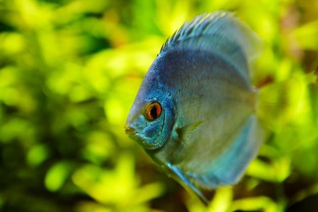 Peixes tropicais discus azuis no ecossistema natural do aquário de água doce.
