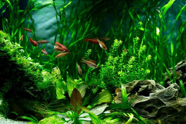 Peixes tropicais em um aquário de água doce. o mundo subaquático de plantas e peixes.